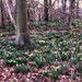 2015 Gloucester Woods - Evening In the Daffodil Wood