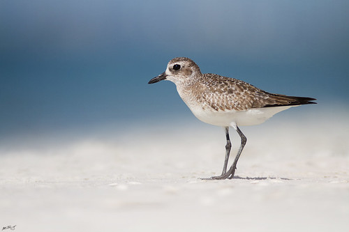 beach nature birds canon wildlife 7d plover shorebird wildbirds blackbelliedplover 600mm