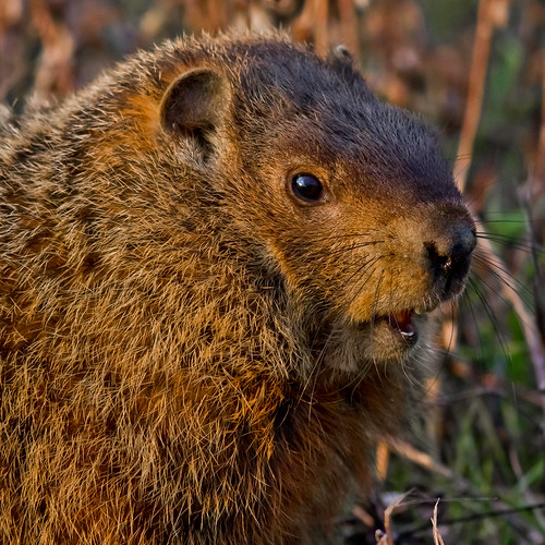 Groundhog in the Evening Sun by sschliv