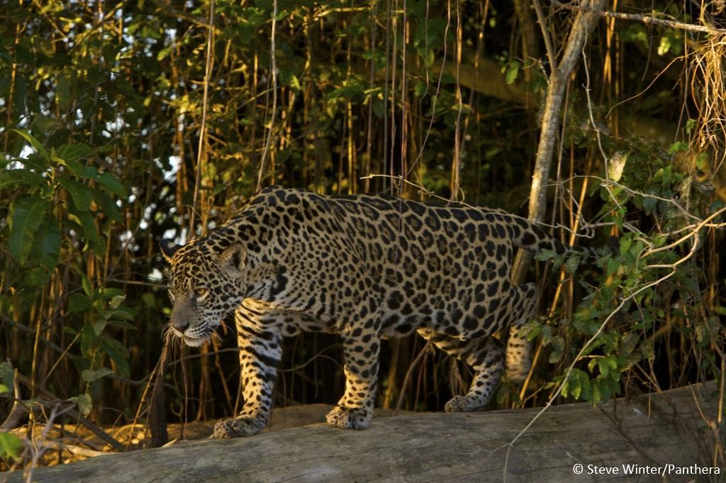 Jaguar walking on a log - Brazilian Pantanal