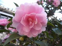 blossom(0.0), shrub(0.0), camellia(1.0), camellia sasanqua(1.0), flower(1.0), plant(1.0), flora(1.0), camellia japonica(1.0), theaceae(1.0), pink(1.0), petal(1.0),