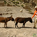 Protecting the Donkey - Annapurna Circuit, Nepal