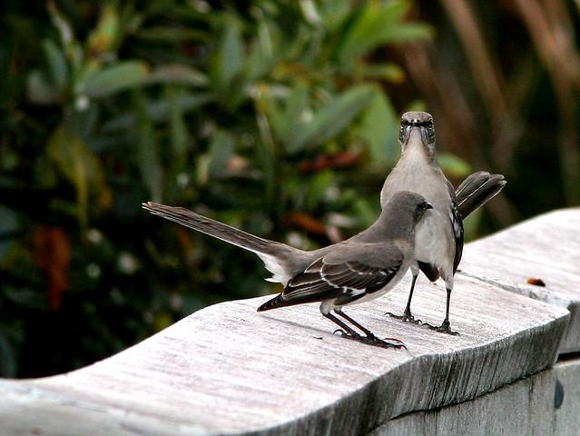 Mockingbird standoff 20101230