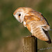 Barn Owl Tyto alba perched on a wooden fence post by Nigel Blake, 17 MILLION views! Many thanks!