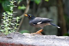 robin(0.0), blackbird(0.0), animal(1.0), fauna(1.0), finch(1.0), acridotheres(1.0), emberizidae(1.0), beak(1.0), bird(1.0), wildlife(1.0),