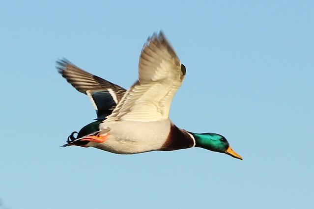 Mallard ducks flying wallpaper