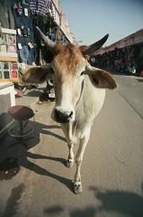 Jaipur cow