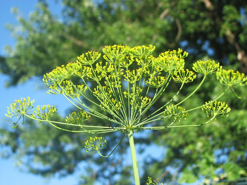 Sun-kissed dill