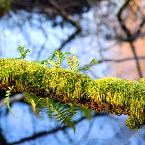ferns moss bokeh color naturallight creek treebranches hushedamongsttheferns 1crzqbn bokehwednesday hbw spores reflections sunlight 7d green ♀ 24105mm14lisusm coth nature square flora nisquallynationalwildliferefuge spw exoticimage legacy shadows itsawonderfulworld pinnaclephotography galleryofdreams