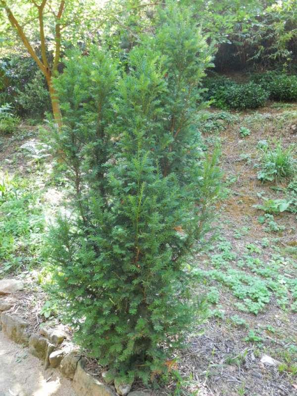 Taxus baccata 'Fastigiata' v 1