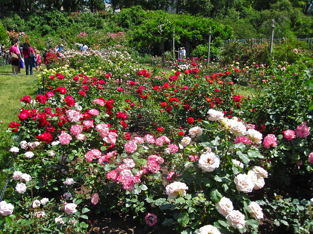 The Cranford Rose Garden. Photo by Rebecca Bullene.