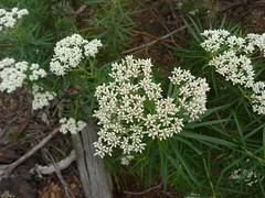 apiales(0.0), yarrow(0.0), iberis sempervirens(0.0), candytuft(0.0), produce(0.0), shrub(1.0), flower(1.0), cow parsley(1.0), cicely(1.0), plant(1.0), subshrub(1.0), anthriscus(1.0), flora(1.0), meadowsweet(1.0), caraway(1.0),