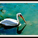 Small photo of Pelican in Al Ain Zoo
