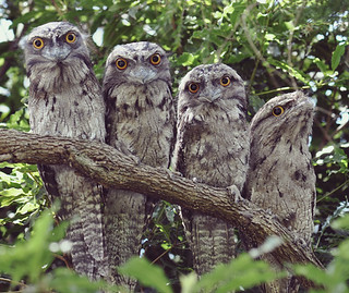 The tawny frogmouth