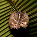 Thomas's Fruit-eating Bat - Photo (c) Peter Nijenhuis, some rights reserved (CC BY-NC-ND)