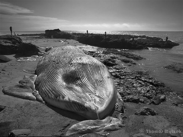 Dead Blue Whale, Bean Hollow, San Mateo, California, September 2010