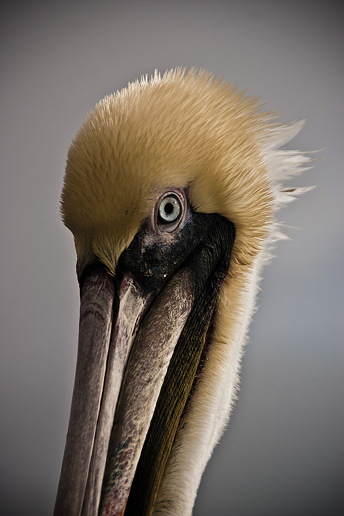Here's Looking At You, pelican
