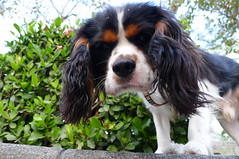 english springer spaniel(0.0), dog breed(1.0), animal(1.0), dog(1.0), welsh springer spaniel(1.0), pet(1.0), king charles spaniel(1.0), drentse patrijshond(1.0), spaniel(1.0), french spaniel(1.0), cavalier king charles spaniel(1.0), carnivoran(1.0),