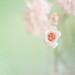 Rosebud by borealnz