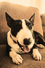 . English bull terrier. Dog. sepia