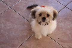 dog breed(1.0), animal(1.0), dog(1.0), cavachon(1.0), schnoodle(1.0), pet(1.0), coton de tulear(1.0), lã¶wchen(1.0), bolonka(1.0), tibetan spaniel(1.0), havanese(1.0), lhasa apso(1.0), morkie(1.0), bichon(1.0), chinese imperial dog(1.0), maltese(1.0), bolognese(1.0), shih tzu(1.0), carnivoran(1.0),