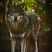 Small photo of Wolve