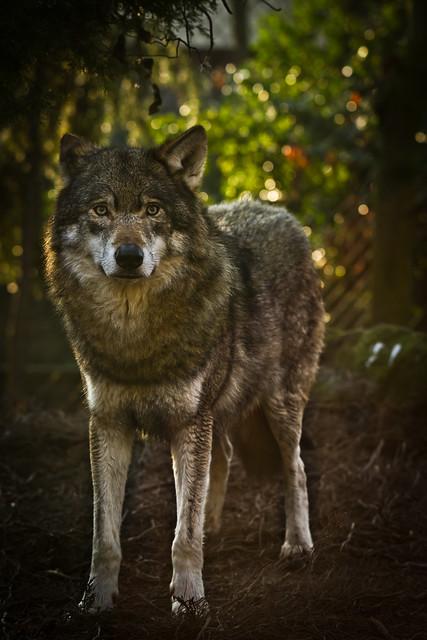 Header of wolve