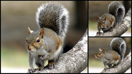 Squirrel triptych