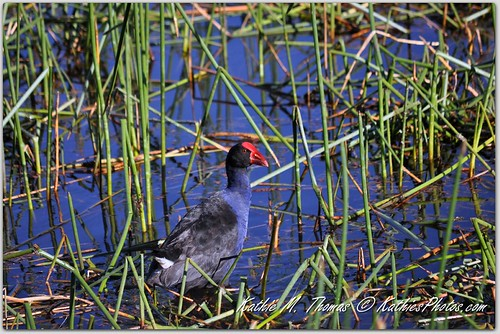 Purple Swamp Hen