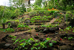 Taro Plants @ Waimea Valley