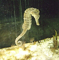 seahorse, animal, marine biology, fauna,