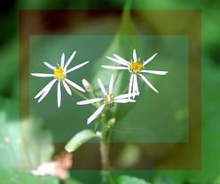 Whiteflowerframed