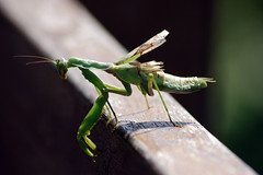 arthropod, locust, animal, cricket-like insect, damselfly, wing, nature, invertebrate, macro photography, mantis, grasshopper, green, fauna, close-up,