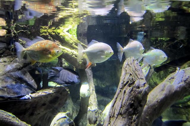 Baltimore national aquarium amazon river forest for Amazon aquarium fish