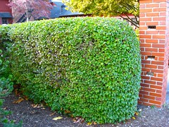 Ligustrum obtusifolium - Border Privet