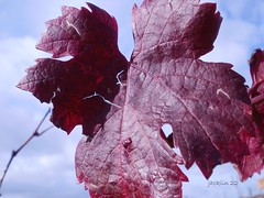 la vigne (gironde)