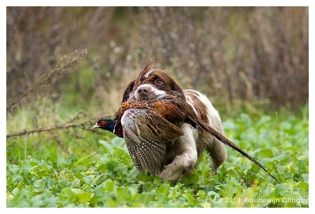 English Springer Spaniel Hunting English springe...