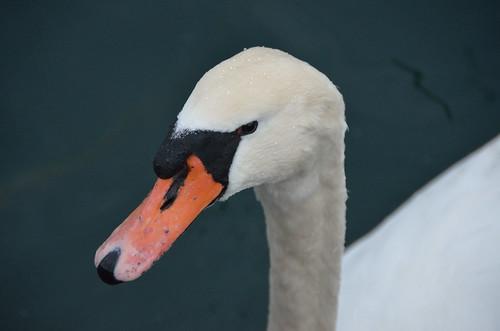 Swan <head>
