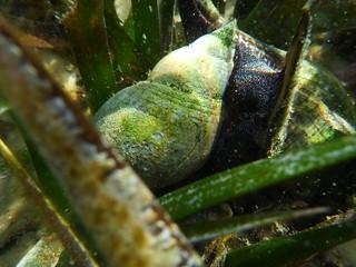 Tulip Snail in St. Joe Bay