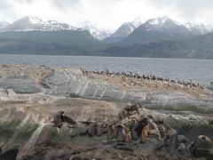 Sea Lions - Canal Beagle