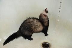 animal(1.0), weasel(1.0), mustelidae(1.0), mammal(1.0), fauna(1.0), marten(1.0), polecat(1.0), whiskers(1.0), mink(1.0), ferret(1.0),