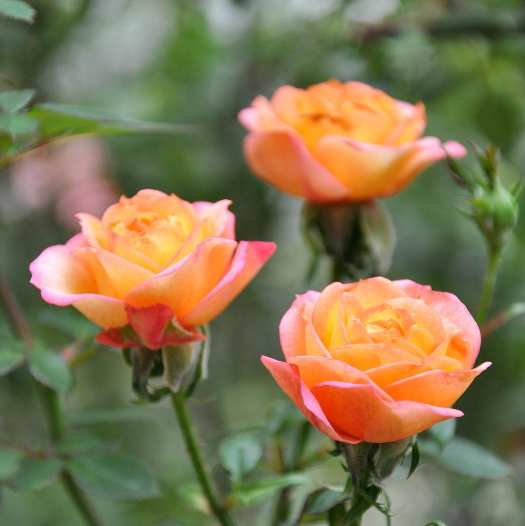 Three Roses 三玫瑰 ...