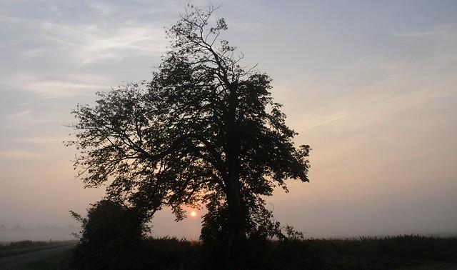 Bäume in Brunsholm - Silhouette einer Rosskastanie (Aesculus hippocastanum) vor dem Morgenhimmel in Bergenhusen, Stapelholm (43)