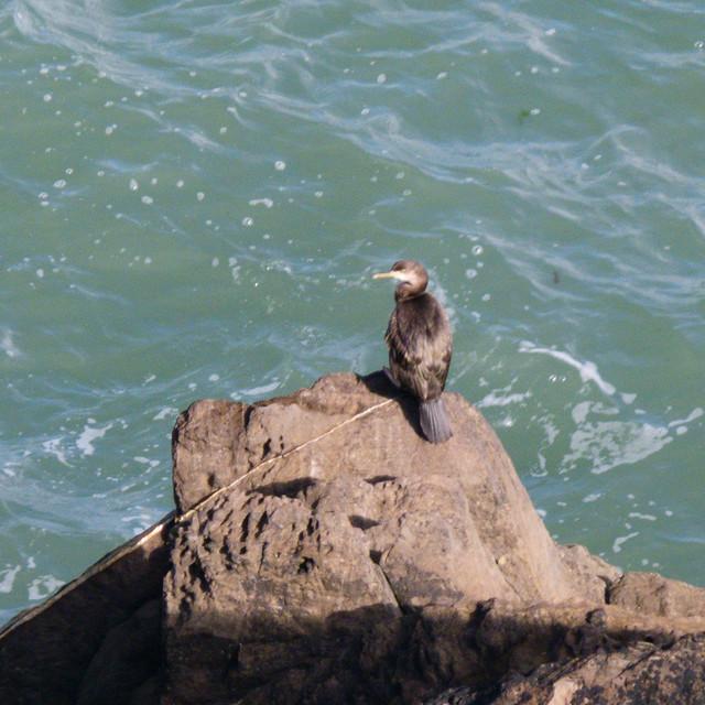 Cormorant on a rock, Ilfracombe