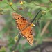 Small photo of Gulf Fritillary (Agraulis vanillae)