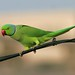 Delhi rooftop: Rose-ringed Parakeet