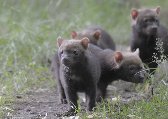 Bush Dog Puppies