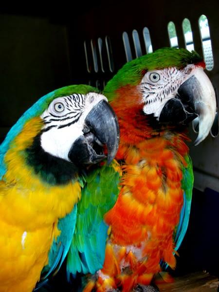 harlequin macaw calypso flickr photo sharing