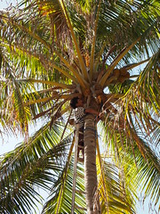 arecales, tropics, palm family, leaf, tree, produce, fruit, food,