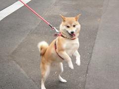 street dog(0.0), dog breed(1.0), animal(1.0), akita inu(1.0), west siberian laika(1.0), akita(1.0), dog(1.0), shiba inu(1.0), siberian husky(1.0), canaan dog(1.0), pet(1.0), norwegian buhund(1.0), shikoku(1.0), mammal(1.0), east siberian laika(1.0), finnish spitz(1.0), korean jindo dog(1.0), norwegian lundehund(1.0), icelandic sheepdog(1.0),